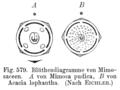 Mimosaceae flowerdiagram.png