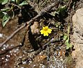 Mimulus primuloides primrose monkeyflower tiny close.jpg
