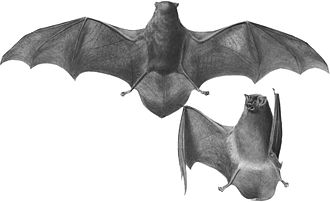 Common bent-wing bat - Image: Miniopterus schreibersii dasythrix