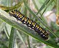 Monarch Caterpillar. (Danaus plexippus) - Flickr - gailhampshire.jpg