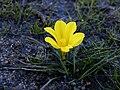 Moraea fugacissima Rondebosch common (Galaxia fugacissima).jpg