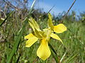 Moraea fugax subsp.fugax.jpg