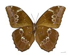 Morpho menelaus huebneri MHNT Male ventre.jpg