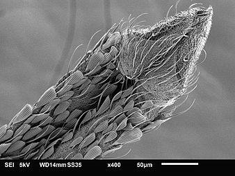 Mosquito proboscis SEM.jpg