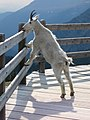 Mountain goat - artificial salt lick.jpg