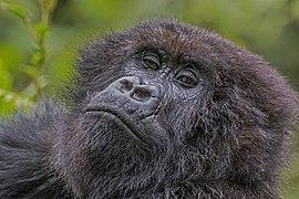 Mountain gorilla (Gorilla beringei beringei) female 3.jpg