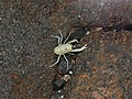 Munidopsis polymorpha (Blind albino crab) (Martyx).jpg