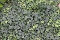 Murgröna ivy Hedera helix (2739935862).jpg