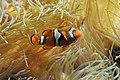 Muséum-Aquarium de Nancy - poisson clown à trois bandes.jpg