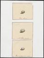 Muscicapidae - 1700-1880 - Print - Iconographia Zoologica - Special Collections University of Amsterdam - UBA01 IZ16500149.tif