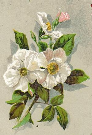 Rosa moschata - Painting of a Musk Rose, 1902.