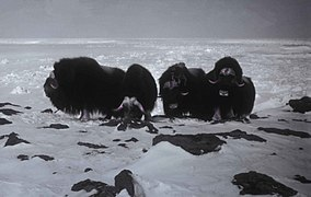 Muskox animals ovibos moschatus.jpg