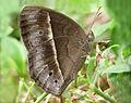 Mycalesis 2 by Kadavoor.jpg
