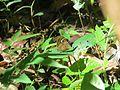 Mycalesis junonia Butler, 1868 – Malabar Glad-eye Bushbrown from Parambikulam (3).jpg