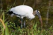 Mycteria americana -Everglades -Florida -USA-8.jpg
