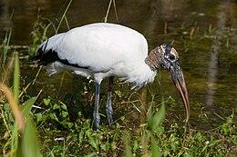 Mycteria americana -Everglades -Florida -USA-8
