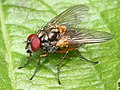 Mydaea corni male - Flickr - S. rae.jpg