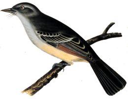 Myiarchus mexicanus