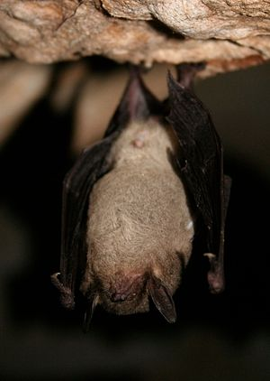 Gray bat - Gray bat in torpor at a hibernaculum