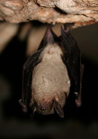 Gray bat - Gray bat in torpor at a hibernaculum