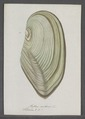 Mytilus anatinus - - Print - Iconographia Zoologica - Special Collections University of Amsterdam - UBAINV0274 076 01 0033.tif