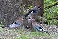 Nötskrika Eurasian Jay (20164135469).jpg