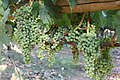 Napa Grapes - 4896590580.jpg