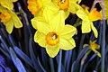 Narcissus Ceylon 1zz.jpg