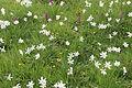 Narcissus radiiflorus (14314195804).jpg