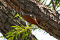 Narrow-billed Woodcreeper (Lepidocolaptes angustirostris) (8077530417).jpg
