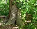 Naturdenkmal Stieleiche ND-H 065.JPG