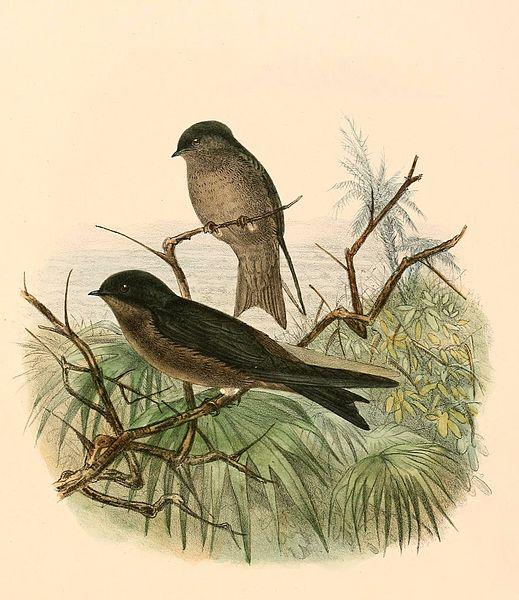 File:Neochelidon tibialis 1894.jpg