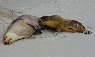 Australian sea lion - Female Australian sea lion with pup at Seal Bay Conservation Park, Kangaroo Island, South Australia