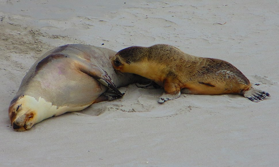Female with pup at Seal Bay Conservation Park on Kangaroo Island, South Australia