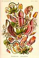 Nepenthes melamphora - Kunstformen der Natur (1900).jpg