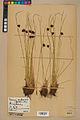 Neuchâtel Herbarium - Juncus jacquinii - NEU000044955.jpg