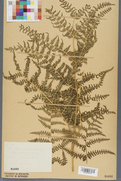 File:Neuchâtel Herbarium - Pteridium aquilinum - NEU000000731.tiff