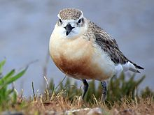 New Zealand Dotterel Waiheke Island.jpg