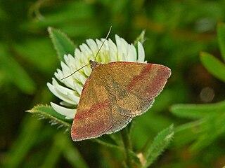 Species of moth