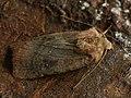 Noctuinae sp. (40689990394).jpg