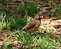 Northern Cardinal female Cardinalis cardinalis (24417478198).jpg