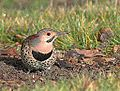 Northern Flicker-Male (10928797616).jpg