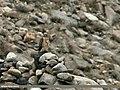 Northern Goshawk (Accipiter gentilis) (24726388586).jpg