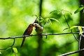 Northern cardinal (42139898571).jpg