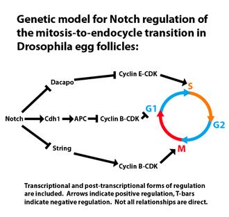 Endoreduplication - Notch regulation of endocycling