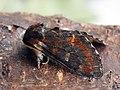 Notodonta dromedarius - Iron prominent - Хохлатка ольховая (26266714667).jpg