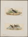 Numenius minor - 1700-1880 - Print - Iconographia Zoologica - Special Collections University of Amsterdam - UBA01 IZ17400083.tif