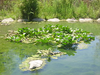 Hasbani River - Nuphar lutea in Snir Stream Nature Reserve, Israel
