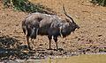 Nyala Bull (Tragelaphus angasii) (6611460271).jpg