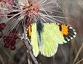 ORANGETIP, PIMA DESERT (Anthocharis cethura pima) (1-18 14) circulo montana, patagonia lake ranch estates, scc, az -03 (12621222823).jpg